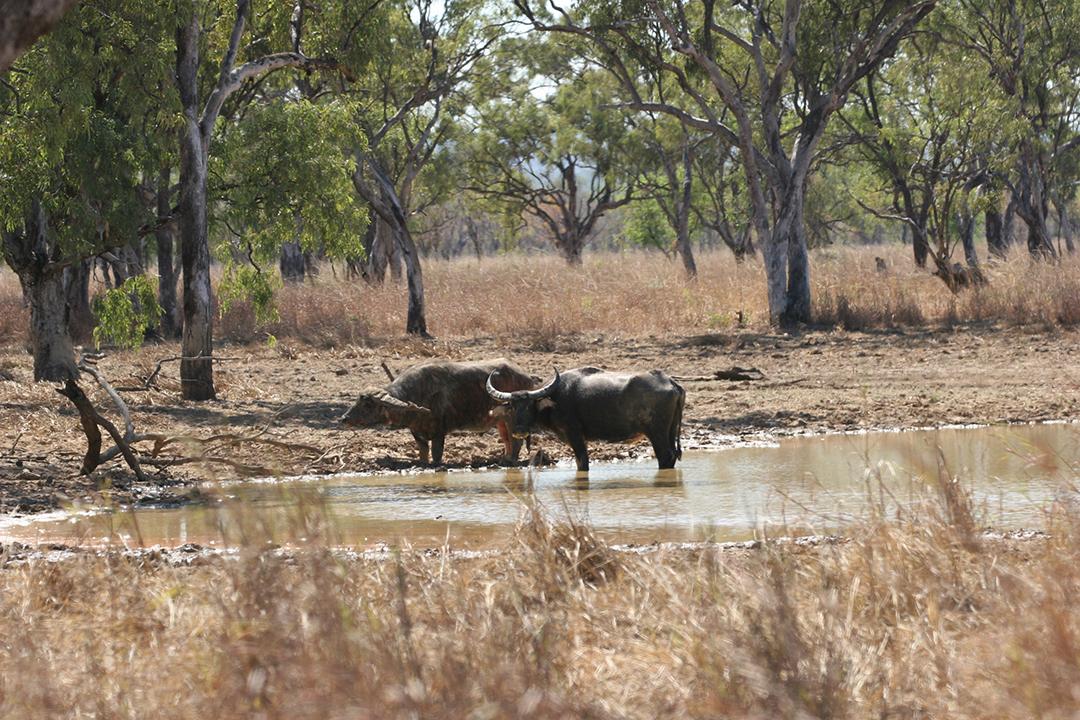 Water buffalo in NT