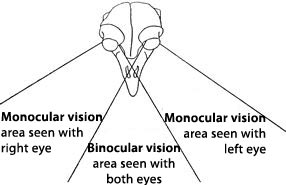 Bird binocular vision