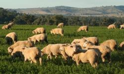 Sheep grazing 250x150