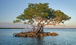 Mangrove 250x150