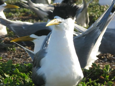 Crested Tern, a large seabird commonly seen in coastal area around Australia