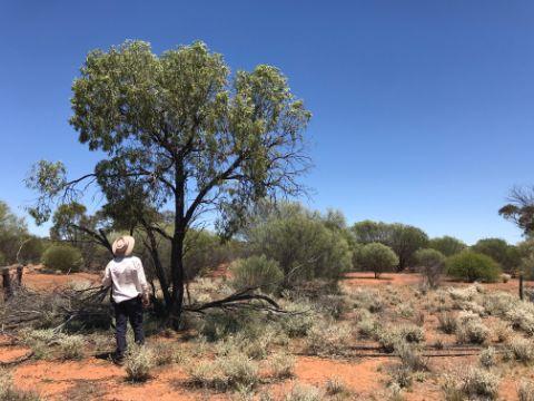Sandalwood tree growing in the desert