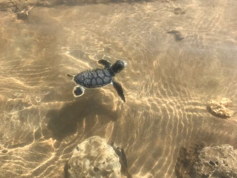 Baby flatback sea turtle swimming