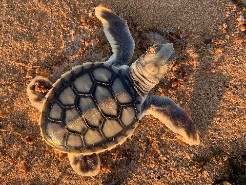 Baby flatback sea turtle