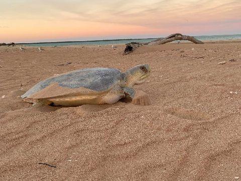 Adult female flatback sea turtle