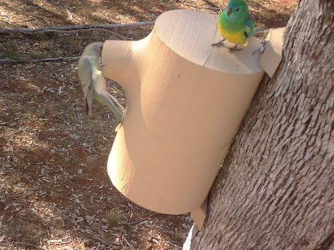Red rumped parrot female using 3D printed box
