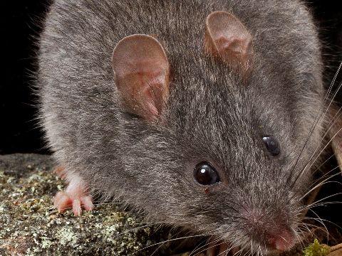 Australian smoky mouse
