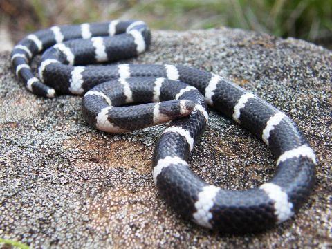 A Bandy Bandy snake